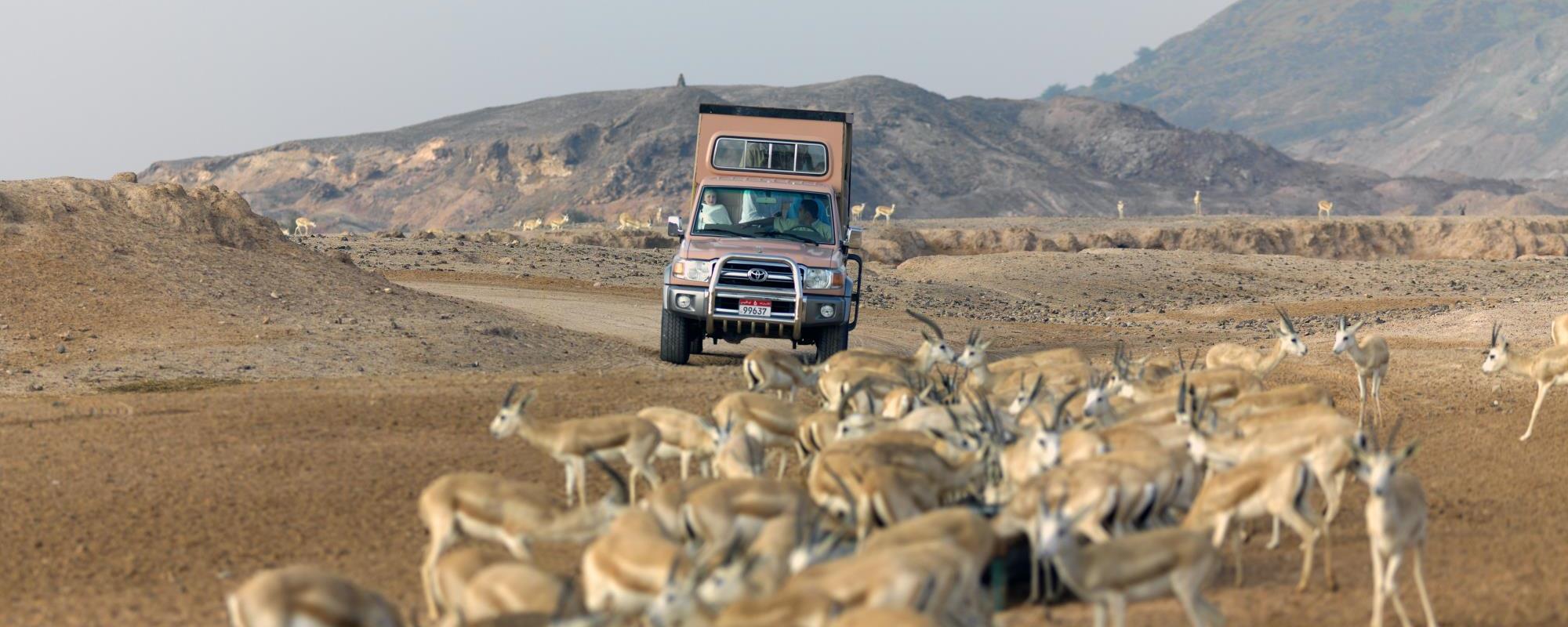 Arabian Wildlife Park In Sir Bani Yas Island