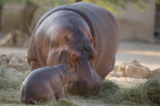 DataFolder/Images/News/Al_Ain_Zoo_Hippos_1.jpg