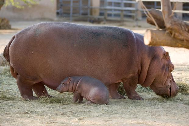 DataFolder/Images/News/Al_Ain_Zoo_Hippos_2.jpg