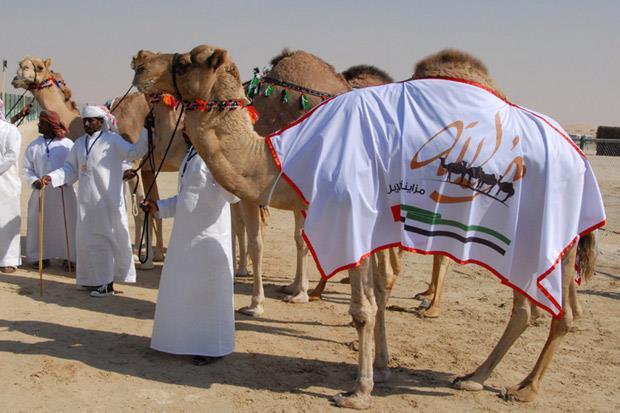 /DataFolder/Images/Events/Al Dhafra/al_dhafrah_camel_festival_06.jpg