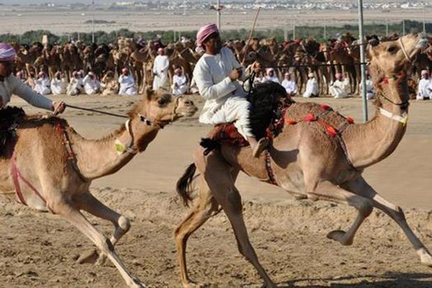 /DataFolder/Images/Events/Al Dhafra/al_dhafrah_camel_festival_11.jpg